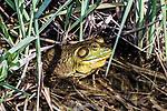 bullfrog full body view hiding in marsh grass facing right