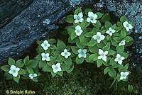 FW02-002a  Bunchberry - forest plant - Cornus canadensis
