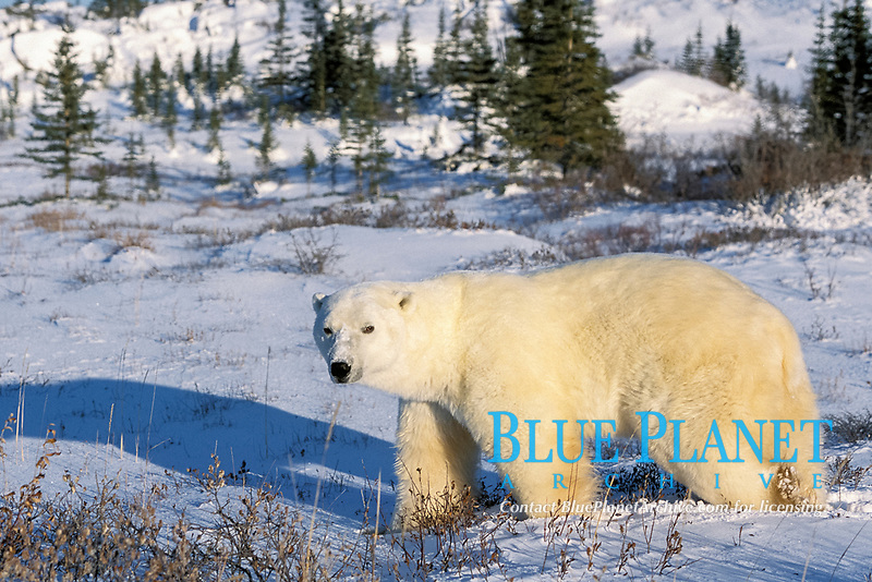 adult polar bear, Ursus maritimus, in fresh snow in boreal forest, northern Hudson Bay, Manitoba, Canada, Arctic, polar bear, Ursus maritimus