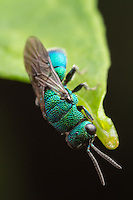 A Cuckoo Wasp (Chrysis sp.) hangs from the end of a leaf.