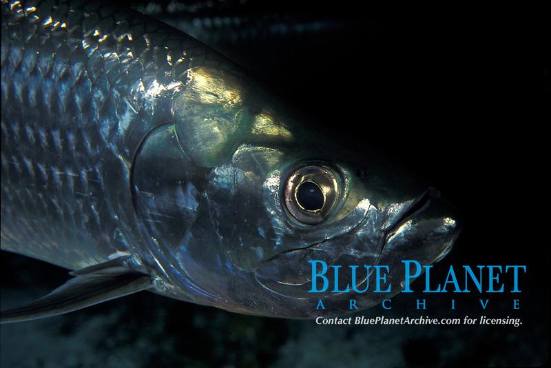game fish, tarpon, Megalops atlanticus, Grand Cayman, Cayman Islands (Caribbean)