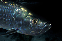 game fish, tarpon, Megalops atlanticus, Grand Cayman, Cayman Islands (Caribbean)