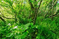 France, Nievre, Val de Loire Natural Reserve, Pouilly sur Loire, alluvial forest //  France, Nièvre (58), Réserve Naturelle du Val de Loire, Pouilly-sur-Loire, forêt alluviale