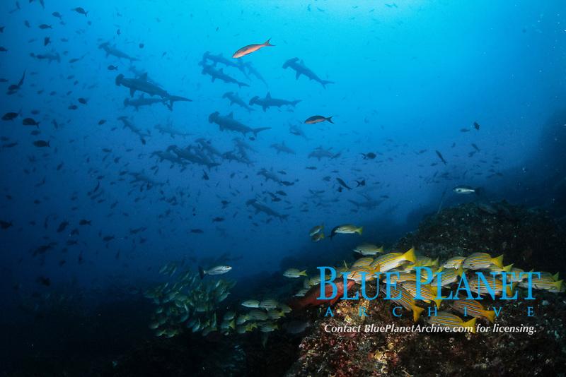 blue-and-gold snapper, Lutjanus viridis, Pacific creolefish, Paranthias colonus, scalloped hammerhead shark, Sphyrna lewini, endangered species, schooling, Cocos Island National Park, Costa Rica, Pacific Ocean