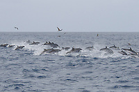 A group of Atlantic Spotted Dolphins, Stenella frontalis, travelling at speed, Azores, Atlantic Ocean