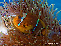 0320-1115  Clark's anemonefish (Yellowtail clownfish), Amphiprion clarkii, with Bulb-tipped Anemone, Entacmaea quadricolor  © David Kuhn/Dwight Kuhn Photography.