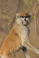 Patas Monkey at Niokolakoba Nature Reserve, Senegal