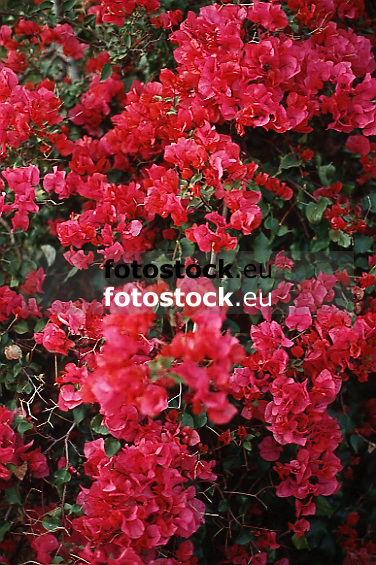 red Bougainvillea blossoms<br /> <br /> Bougainvillea flores rojos<br /> <br /> rote Bougainvillea Blüten<br /> <br /> Original: 35 mm slide transparency
