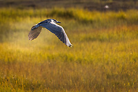 A Black-crowned Night-heron in flight, wings spread as it glides over the golden grasses of the saltmarsh at Martin Luther King Jr. Regional Shoreline in Oakland, California