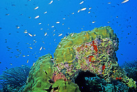Bonaire reef with Star coral (Montastrea) and Chromis (Family Pomacentridae), Caribbean