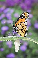 MONARCH BUTTERFLY life cycle..Drying Wings on Joe-Pye Weed  leaf. .North America. (Danaus plexippus)
