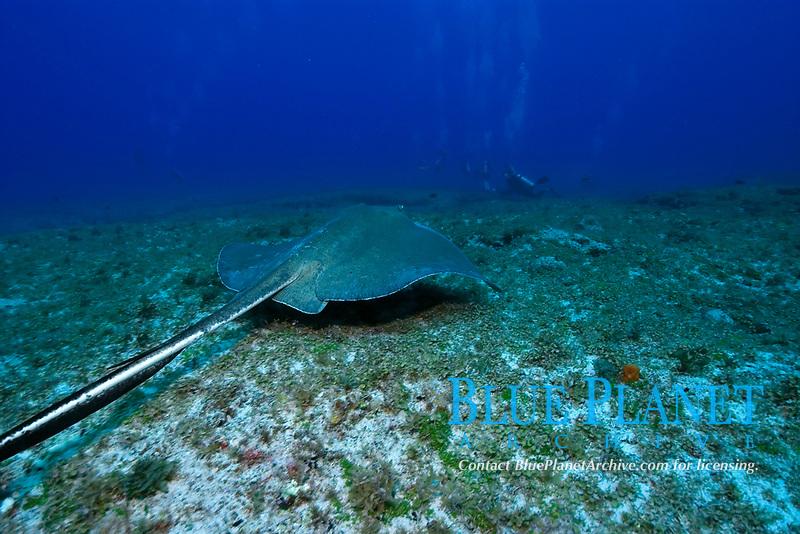 Southern stingray, Dasyatis americana, Fernando de Noronha, Pernambuco, Brazil, Atlantic Ocean