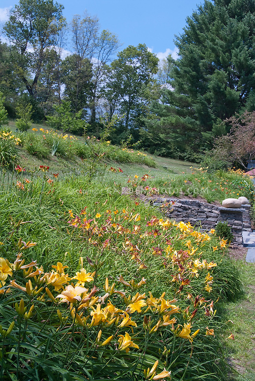 Hemerocallis daylily garden in mass plantings in summer near house on slope hill