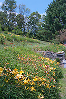 Hemerocallis daylily garden in mass plantings in summer near house on slope hill