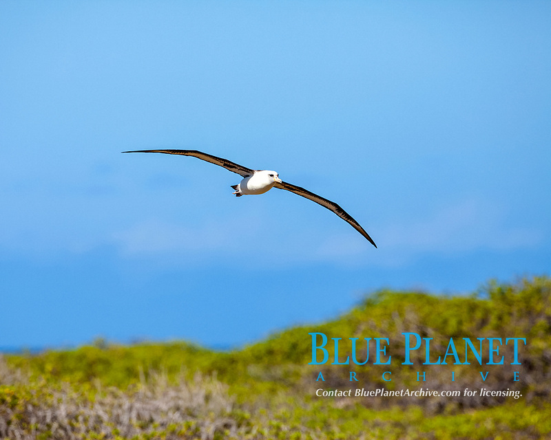 Laysan Albatross Flying, Phoebastria immutabilis, Ka'ena Point State Park, Oahu, Hawaii, USA, Pacific Ocean