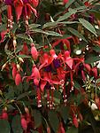 Fuchsia Dainty