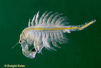 1Y42-001c  Brine Shrimp - Artemia