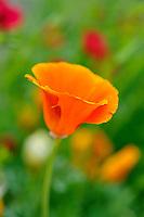 Californian Poppy