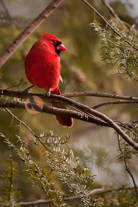 Bright red cardinal in hemlock tree