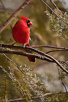 Bright red cardinal in hemlock tree