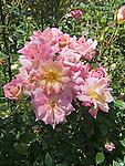 Seattle Scentsation miniature Rose, Rosa hybrid