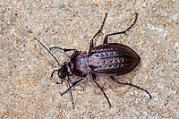Hügel-Laufkäfer, Hügellaufkäfer, Carabus arvensis, Eucarabus arvensis, ground beetle