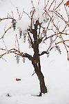 Grape vine with bare bunches in the snow, Shenandoah Valley, Calif.