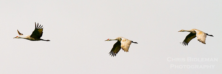 Three Sandhill Cranes (Grus canadensis) are in flight against a gray sky all in a row