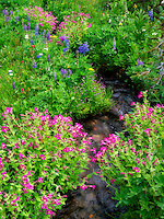 Close up of Small stream and Monkey Flowers. Bird Creek meadows. Mt. Adams Wildernesss, Washington