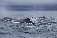 Pottwal, Pott-Wal, Pottwale, Potwal, Physeter macrocephalus, Physeter catodon, sperm whale, Kaschelot sperm whale, great sperm whale, cachalot, Le grand cachalot, le cachalot, le cachalot macrocéphale, Walsafari, Walbeobachtung, Island, whale watching, Iceland