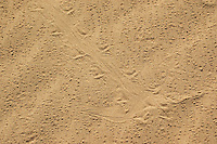 Tracks of Colorado Desert fringe-toed lizard, Uma notata.  Algodones dunes, Imperial County, California