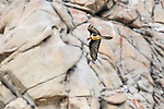 Adult lammergeier or bearded vulture (Gypaetus barbatus) in flight. Ladakh, Himalayas, northern India.