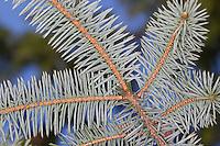Sitka-Fichte, Sitkafichte, Picea sitchensis,  Sitka spruce