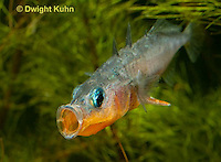 1S13-520z   Male Threespine Stickleback yawning and stretching behavior, Mating colors showing bright red belly and blue eyes,  Gasterosteus aculeatus,  Hotel Lake British Columbia