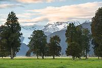 Sunrise over Aoraki Mt. Cook and Mt. Tasman of Southern Alps and Fox Glacier farmland, Westland Tai Poutini National Park, West Coast, UNESCO World Heritage Area, South Westland, New Zealand, NZ