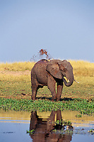 African Elephant taking mud bath along shore of Lake Kariba, Zimbabwe.