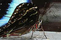 Common Blue Morpho, Morpho peleides