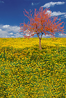 Goldenrod meadow with orange foliage in tree
