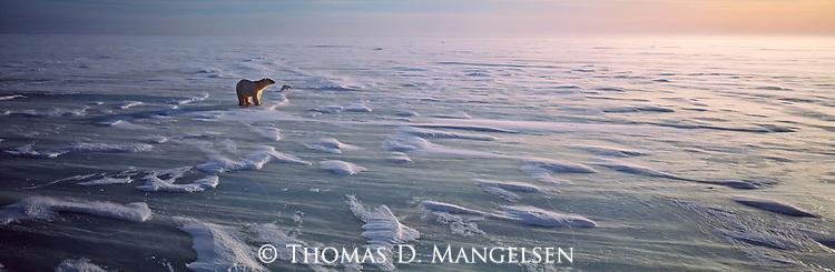 A polar bear and arctic fox survey frozen Hudson Bay in Manitoba, Canada.