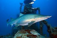 Sand tiger shark, female, Carcharias taurus, Chichi-jima, Bonin Islands, Ogasawara, Tokyo, Japan, Pacific Ocean