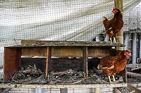 ARMENIA - COLOMBIA, 24-05-2021: La finca de Richard Hurtado queda ubicada en la vereda Santa Rita del municipio de Montenegro, Quindío; su producción de huevos antes de los bloqueos se encontraba en 90%, cuando empezó la situación del Paro Nacional y el maíz escaseo, su producción bajó al 0%.  A más de un mes del inicio del Paro Nacional, los campesinos han tenido que reinventar la forma para mantener sus cultivos y criaderos activos para minimizar las pérdidas por los bloqueos que aún se mantienen en las vías. Según cifras del Ministerio de Hacienda, las pérdidas diarias están en un monto de $480.000 millones de pesos colombianos, lo cual sumando la totalidad de los días del Paro Nacional, suman un total de $10,8 billones de pesos colombianos. / Richard Hurtado's farm is located in the village of Santa Rita in the municipality of Montenegro, Quindío; his egg production before the blockades was at 90%, but when the National Strike began and corn became scarce, his production dropped to 0%.  More than a month after the beginning of the National Strike, farmers have had to reinvent the way to keep their crops and farms active to minimize losses due to the road blockades that are still in place. According to figures from the Ministry of Finance, daily losses are in the amount of $480,000 million Colombian pesos, which adding the total number of days of the National Strike, add up to a total of $10.8 billion Colombian pesos. Photo: VizzorImage / Santiago Castro / Cont