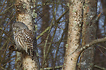 Barred owl, George C. Reifel Migratory Bird Sanctuary, British Columbia, Canada
