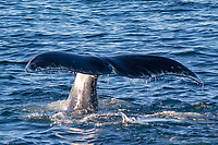 bowhead whale, Balaena mysticetus, male, diving and lifting tail fluke, Franz Josef Land, Arctic Circle, Russia, Barents Sea, Arctic Ocean