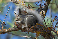 Abert's Squirrel (Sciurus aberti) feeding on seeds in ponderosa pine cone.  South Rim, Grand Canyon, Arizona.