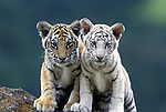 Two Twelve Week Old Bengal Tiger Cubs (Pantera tigris tigris), controlled conditions