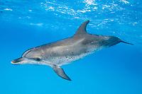 Spotted dolphin Stenella frontalis, note rake marks, Atlantic Ocean Bahamas
