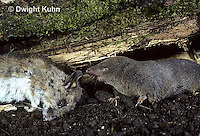 MU11-011z  Short-tailed Shrew -with dead deer mouse prey-  Blarina brevicauda