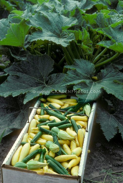 Zucchini and yellow summer squash picked in a box in the vegetable garden