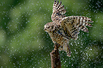 "Pictured: A young owl spreads its wings to cool off during a shower on a hot day, and even catches raindrops in its beak.   The burrowing owl can be seen enjoying the rain falling on its feathers.<br /> <br /> The bird, thought to be two years old, opened its beak wide to catch droplets as it perched on a tree near Diessen, Holland.   Photographer Albert Beukhof, a 44 year old architect from Arnhem in Holland, said: ""The burrowing owls love it when it rains on a warm day.   SEE OUR COPY FOR DETAILS<br /> <br /> Please byline: Albert Beukhof/Solent News<br /> <br /> © Albert Beukhof/Solent News & Photo Agency<br /> UK +44 (0) 2380 458800"