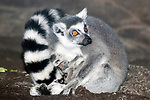 ring-tailed lemur with newborn twins, young lemurs were born 20 minutes bfore photo was taken